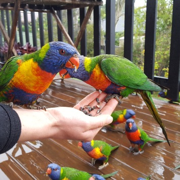 Making friends with the local lorikeets